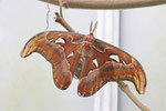 Atlasspinner, Attacus atlas