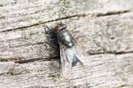 Schmeissfliege, weibl.,  Phormia regina