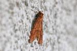 Federfühler-Herbstspanner, Colotois pennaria