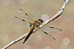 Vierfleck, männl., Libellula quadrimaculata