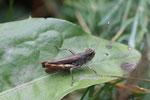 Rote Keulenschrecke, Gomphocerippus rufus