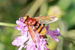Hornissenschwebfliege, Voluzella zonaria