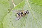 Gestreifte Waldschwebfliege, weibl., Dasysyrphus albostriatus
