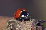 Siebenpunkt - Marienkäfer, Coccinella septempunctata
