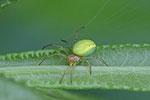 Kürbisspinne, Araniella cucurbitina/opisthographa