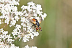 Raupenfliege, weibl., Gymnosoma rotundatum