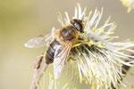 Gem. Keilfleckschwebfliege, weibl., Eristalis pertinax