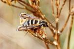 Hornklee-Glasflügler, weibl.,  Bembecia ichneumoniformis