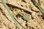 Feld-Sandlaufkäfer,  Cicindela campestris