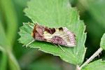 Messingeule, Diachrysia stenochrysis