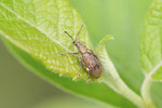 Birnen-Grünrüssler, Phyllobius pyri