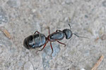 Haarige Holzameise, Camponotus vagus