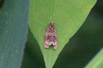 Wickler, Celypha lacunana