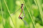 Frühe Adonislibelle, Pyrrhosoma nymphula, Paarungsrad