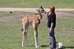 Junge Giraffe