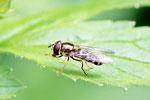 Schwebfliege, Eupeodes sp.
