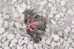 Großes Eichenkarmin, Catocala sponsa