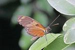 Passionsfalter, Heliconius sp.