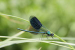 Gebänderte Prachtlibelle, Calopteryx splendens