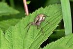 Trauer-Wolfspinne, Pardosa lugubris s. l.
