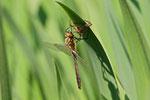 Falkenlibelle, Cordulia aenea