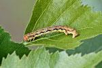 Raupe vom großen Frostspanner, Erannis defoliaria