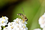 Gem. Feldschwebfliege, Eupeodes corollae