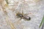 Mauerbiene, Hoplitis sp., männl.