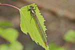 Frühe Adonislibelle, Pyrrhosoma nymphula