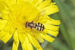 Gemeine Feldschwebfliege, weibl., Eupeodes corollae
