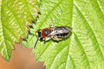 Rotschopfige Sandbiene, weibl., Andrena haemorrhoea