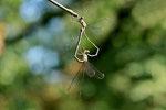 Westliche Weidenjungfer, Paarungsrad, Chalcolestes viridis