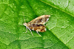 Spreizflügelfalter, Anthophila fabriciana