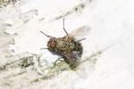 Graugelbe Polsterfliege, Pollenia sp.