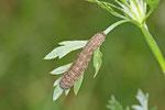 Raupe vom Eulenfalter, Agrotis sp./ Euxoa sp.