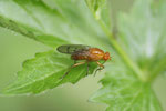Baumfliege, Dryomyza anilis