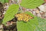 Pantherspanner, Pseudopanthera macularia