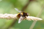 Hummel-Keilfleckschwebfliege, Eristalis intricaria