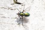 Blaugrüne Raupenfliege, männl., Gymnocheta viridis