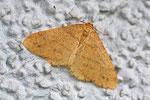 Orangegelber Breitflügelspanner, Agriopis aurantiaria