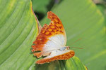 Waldperle, Charaxes fulvescens