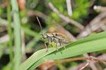 Behaarter Moorweichkäfer, Dascillus cervinus