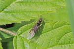 Ameisen-Königin, Lasius cf. brunneus