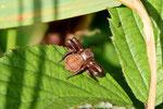 Krabbenspinne, Xysticus sp.