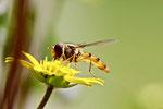 Hainschwebfliege, weibl., Episyrphus balteatus