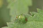 Leuchtende Kräuterwanze, Apolygus lucorum