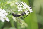 Blattwespe, Macrophya montana