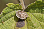 Schildkrötenwanze, Larve, Eurygaster testudinaria