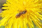 Feld-Wespenbiene, weibl., Nomada goodeniana