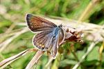 Gem. Bläuling, weibl., Polyommatus icarus
